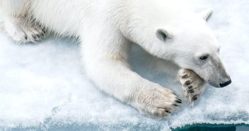 Eisbär Expedition mit Ponant